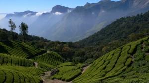 Tea-plantation-fotolia