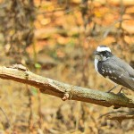 Gir_National_park_Bird