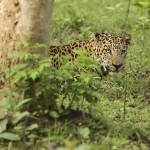 Leopard_in_Rajiv_Gandhi_National_Park
