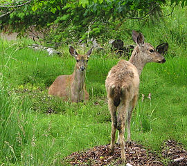 270px-Black-tailed_deer