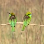 2 Chestnut headed bee-eaters at Jim Corbett National Park, Uttarakhand, India