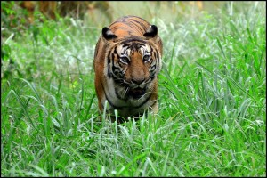 Tiger_in_Mysore_Zoo_-_karnataka