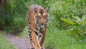 Bengal_Tiger_In_Sundarbans_Bangladesh