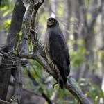 Serpent_eagle,_Satpura_Tiger_Reserve,_Madhai,_Madhya_Pradesh