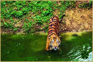 tiger-wildlife-bandhavgarh