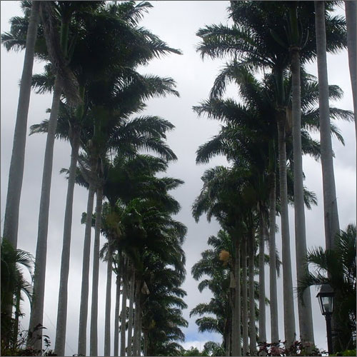 Rows Of Tall Palm