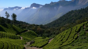 Tea-plantation-fotolia