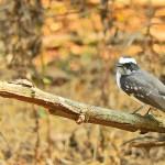 Gir_National_park_Bird