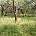 Gir_National_park_Jungle