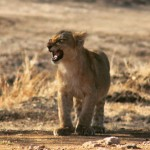 The_Feisty_Lion_Cub_01