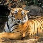 nagarhole-national-park-tiger