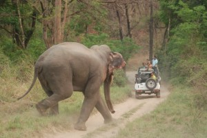 Asian_Elephant_at_Corbett_National_Park_10
