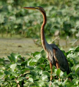 Purple_Heron_(Ardea_purpurea)_in_Kolleru,_AP_W_IMG_4052
