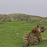 A_male_tiger