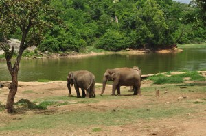 Elephants_at_bannerghatta_national_park