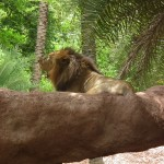 Indian_Lion_from_Nehru_Zoological_park_Hyderabad_4278