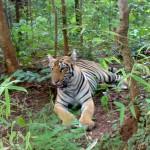 Tiger_at_Tadoba