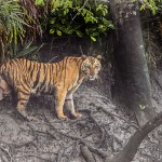 Tiger_Sundarbans_Tiger_Reserve_22.07.2015